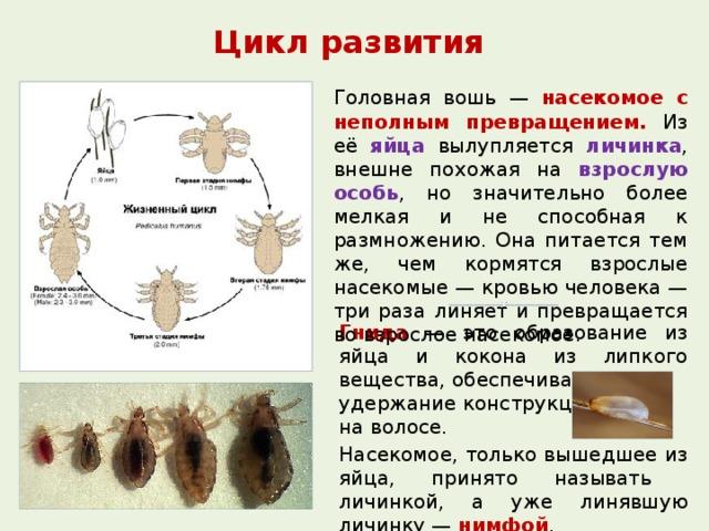 Как размножаются вши на голове, цикл развития