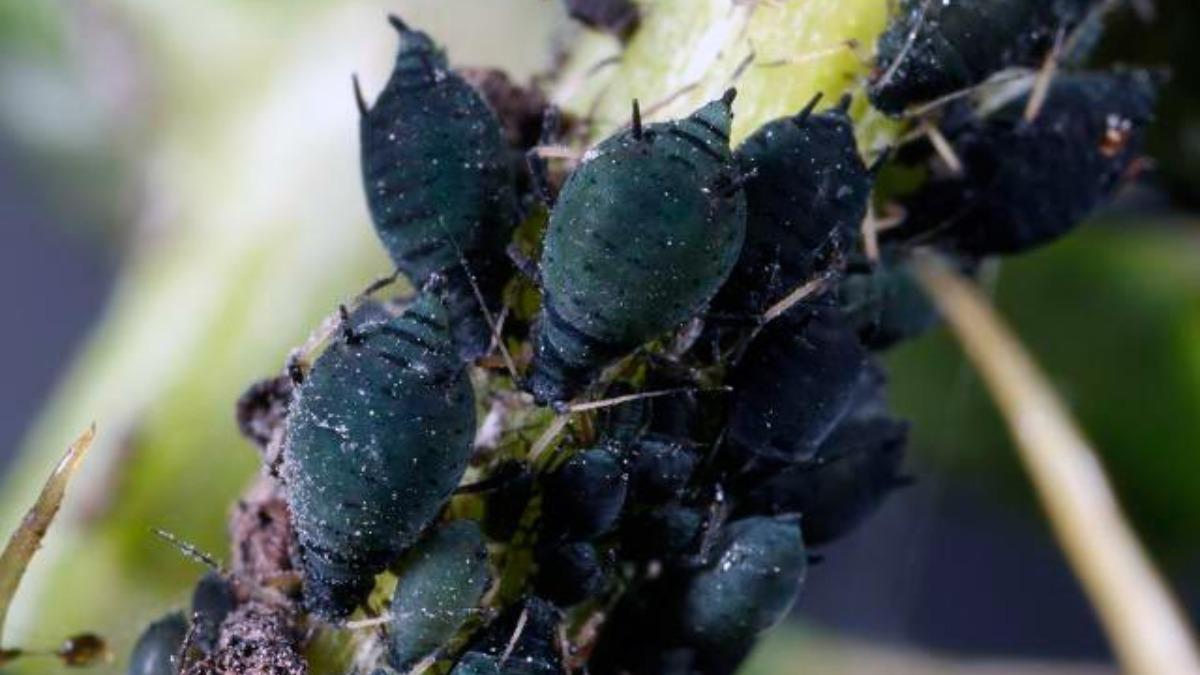 Тля на листьях свеклы борьба. как избавиться от тли на свекле. мыльный раствор от тли