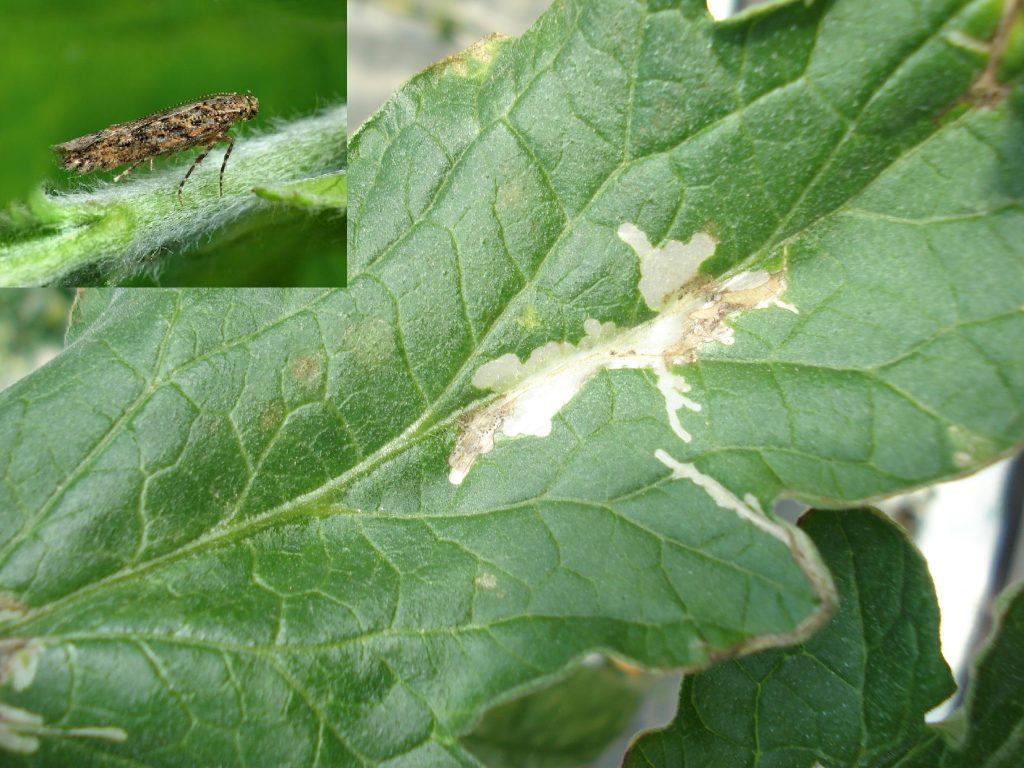 Появилась томатная моль: меры борьбы, минирование насекомого и профилактика растений
