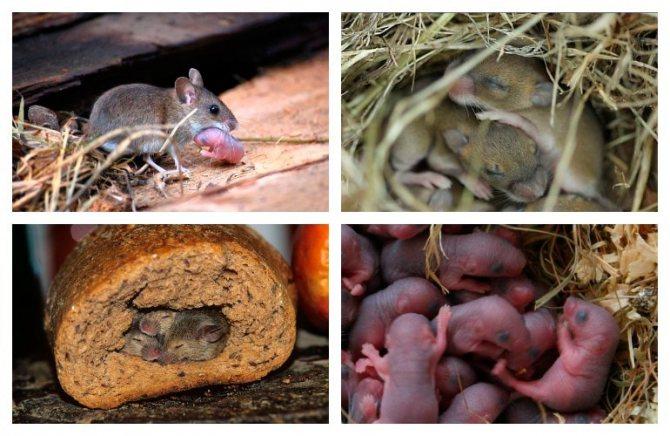 Мышь это не крыса: сколько живёт, сколько весит, какие виды есть, размер