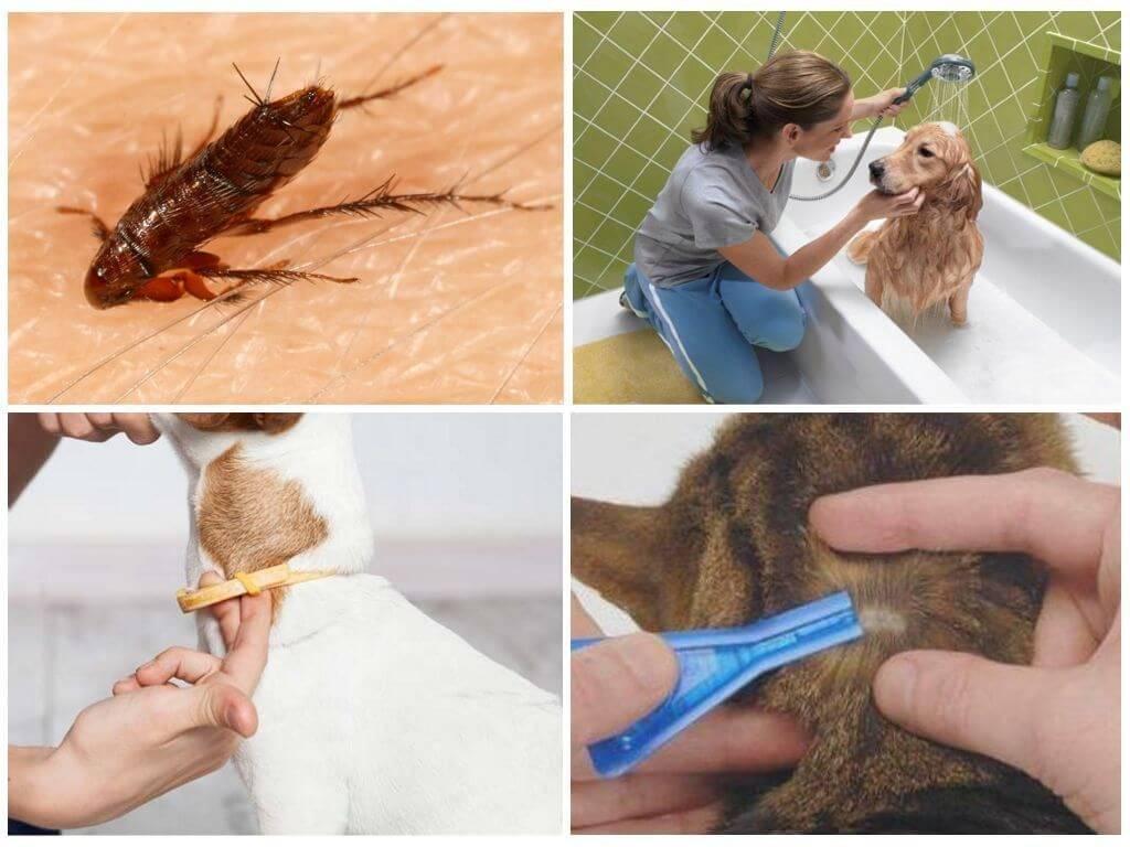 Как вывести блох у собак быстро и эффективно? / как избавится от насекомых в квартире