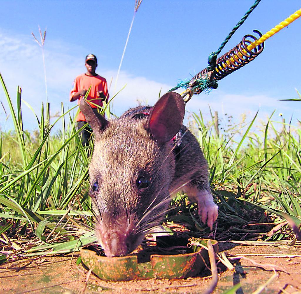 Самая большая крыса в мире: фото гиганских и редких особей - kotiko.ru