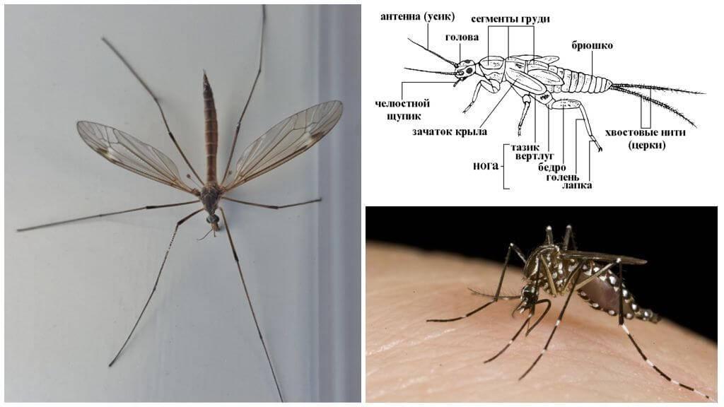 Виды комаров – описание и особенности существования