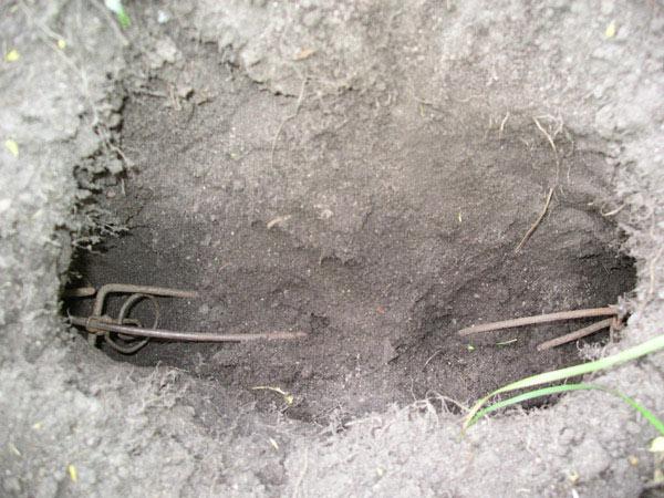 Как поймать крота в огороде и на приусадебном участке: самый эффективный способ
