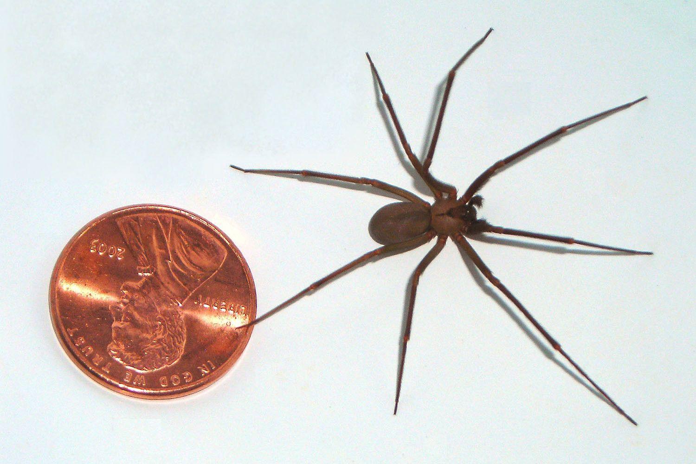 Коричневый паук отшельник: фото, где встречается, последствия укуса