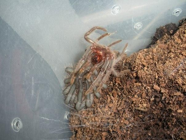 Линька у паука