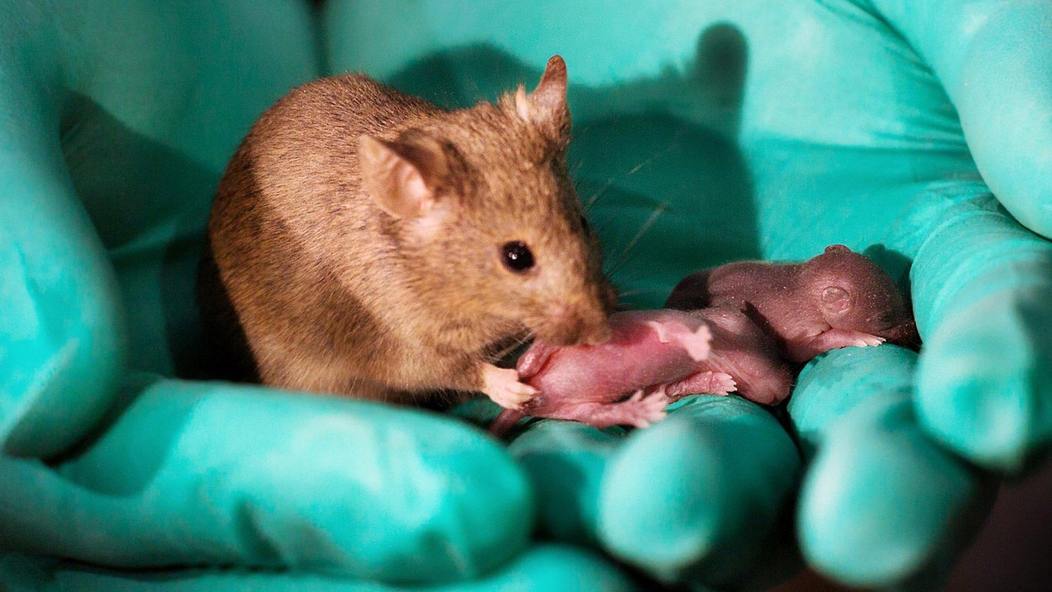 Роды и развитие мышат. разведение размножение мышей. содержание белых мышей. белая мышь , белые мыши. mus musculus linnaeus = домовая мышь. кормление. разведение и содержание домовая мышь