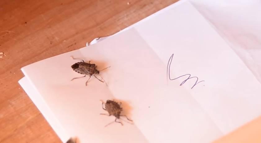 Мраморный клоп: борьба с ним, как и какими средствами избавиться от этого насекомого в квартире