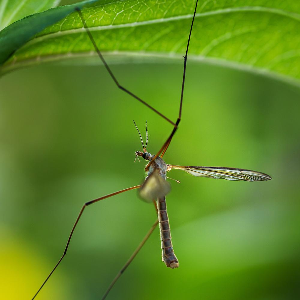 Кто такой – паук с длинными тонкими ножками, и чем он еще отличается от своих сородичей?