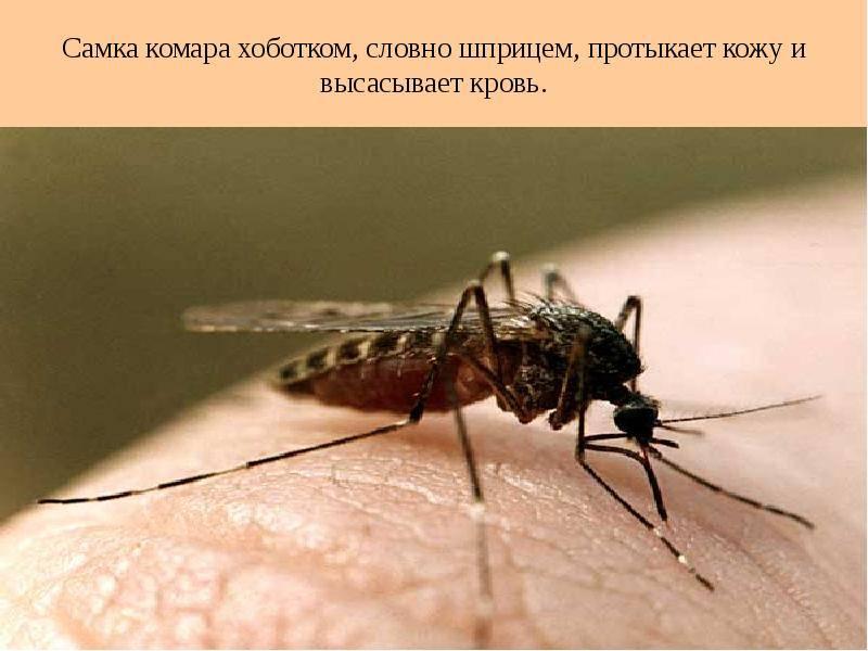 Комар долгоножка – миф опасности большого насекомого