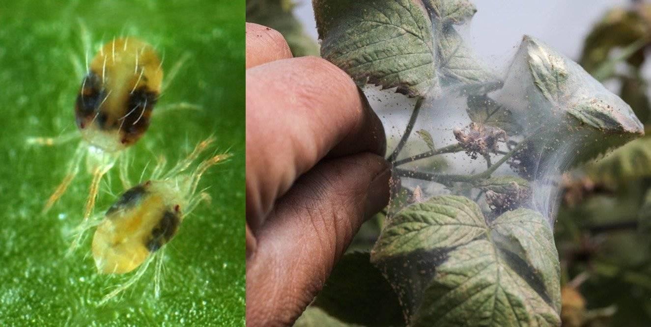 Чем и когда обработать перец от вредителей: самые эффективные меры борьбы, профилактика, фото