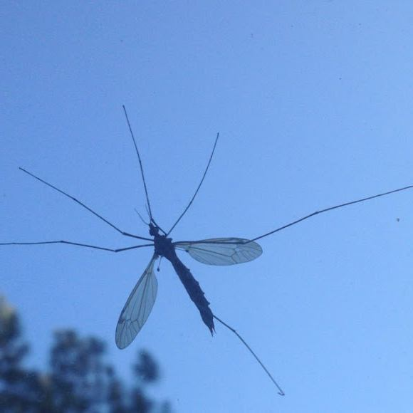 Кусается ли огромный комар-долгоножка, или карамора?
