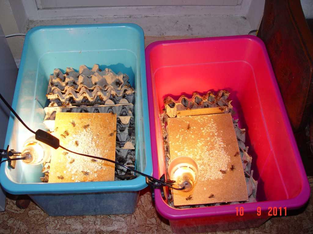 Основные правила разведения сверчков в домашних условиях