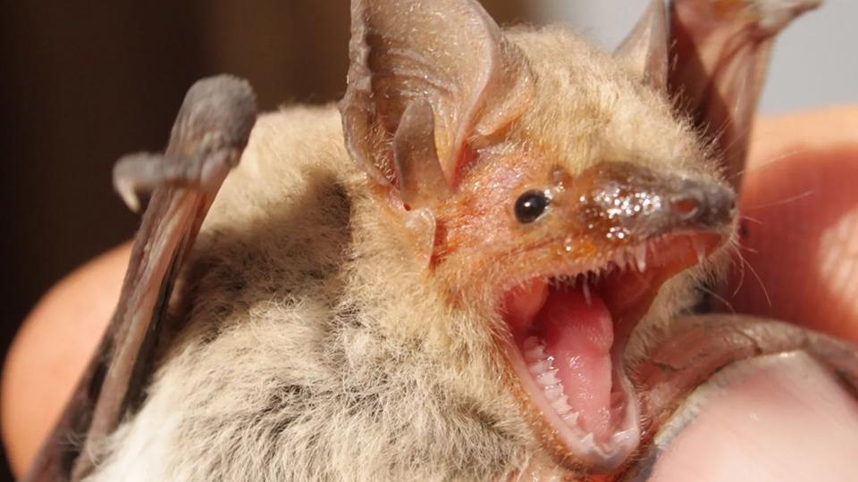 Общие сведения о летучих мышах: виды, чем питаются, сколько живут, чем опасны и интересные факты о них
