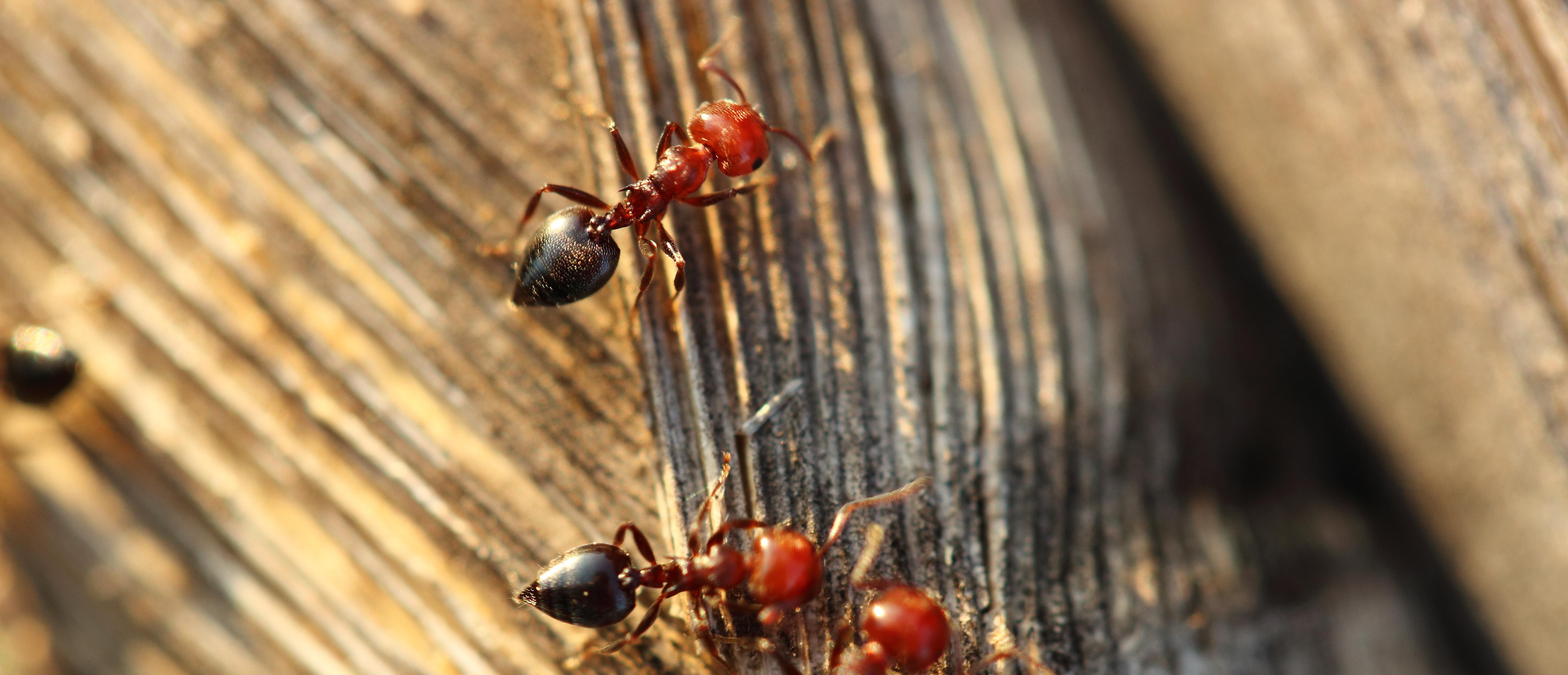 Как избавиться от муравьев (методы)