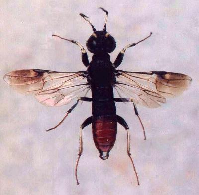 Паразитические насекомые-энтомофаги, их биологические особенности и типы паразитизма