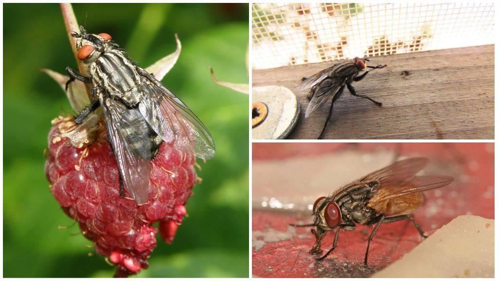 Муха пчеловидка среда обитания