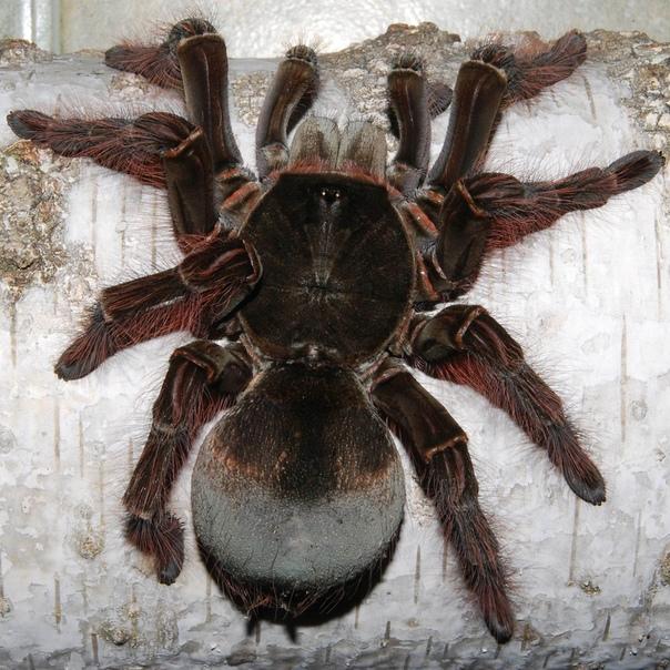 Самые большие пауки в мире: рейтинг опасных и ядовитых арахнидов