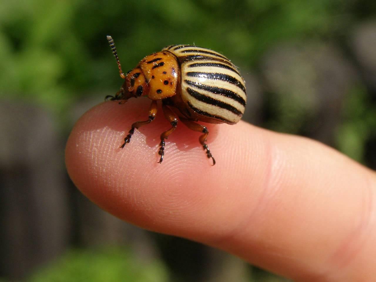 Откуда взялся колорадский жук. как и когда появился колорадский жук в россии | дачная жизнь