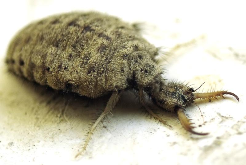 Муравьиный лев – хищное насекомое. муравьиный лев обыкновенный – хищник песчаных берегов