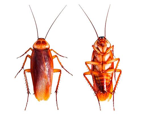 Как избавиться от тараканов народными средствами