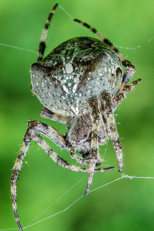 Паук-крестовик как выглядит. укус паука-крестовика, оказание первой помощи.