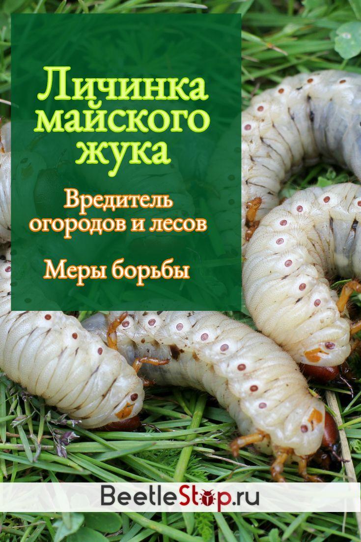 Эффективные методы борьбы с личинкой майского жука
