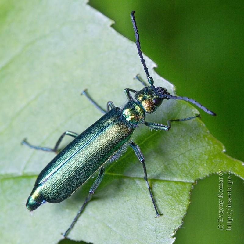 Шпанка красноголовая: образ жизни и развитие жука-нарывника