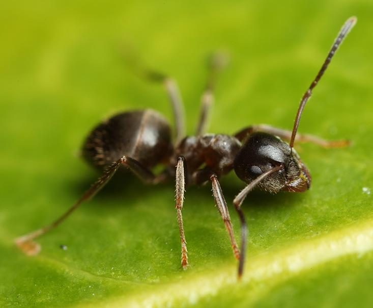 Как вывести из дома и квартиры навсегда черного муравья: лучшие средства?