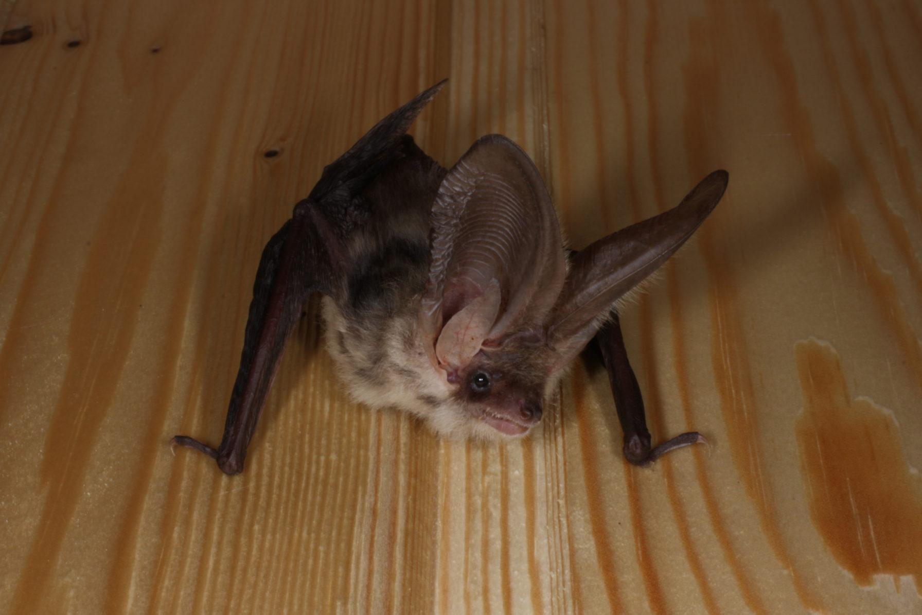 Как избавиться от летучих мышей под крышей дома народными средствами