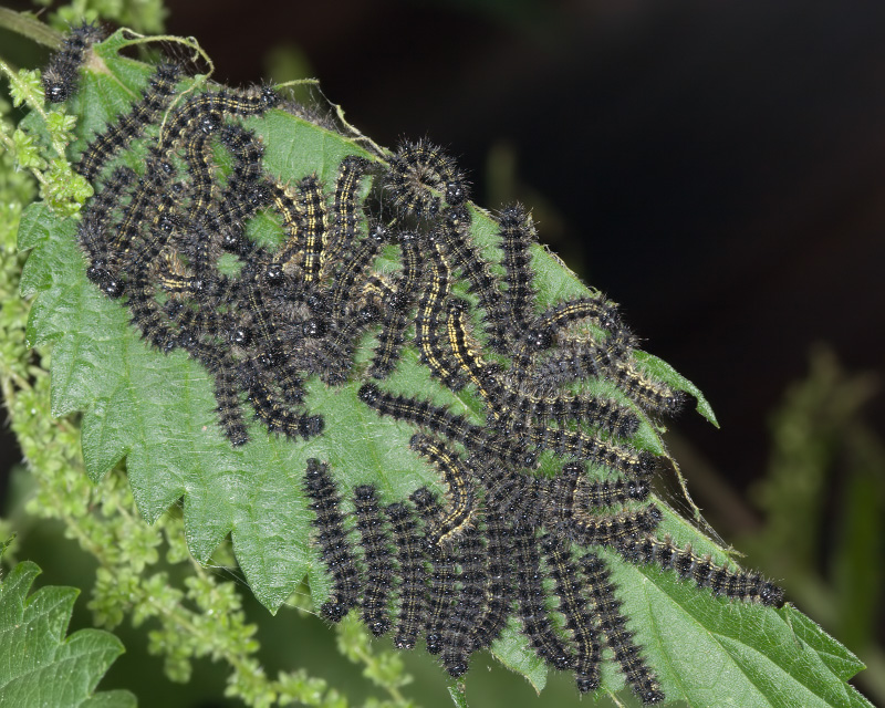 Бабочка крапивница где откладывает яйца