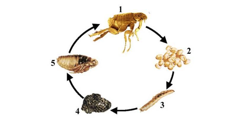 Размножение и жизненный цикл блохи