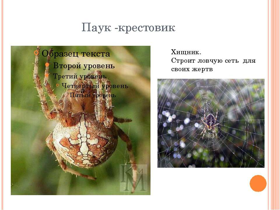Паук — это насекомое или нет?