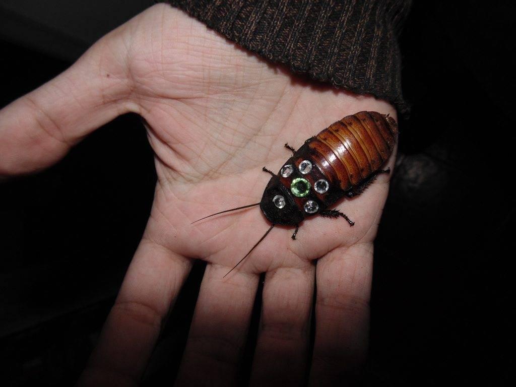 Американский таракан, или красный таракан   мир животных и растений