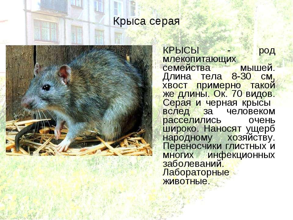 Серая крыса (пасюк): интересные факты о жизни этих грызунов