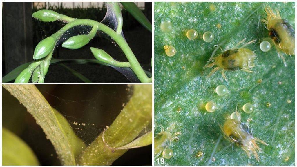 Паутинный клещ на орхидее: меры борьбы в домашних условиях, фото вредителя, а также как быстро от него избавитьсядача эксперт