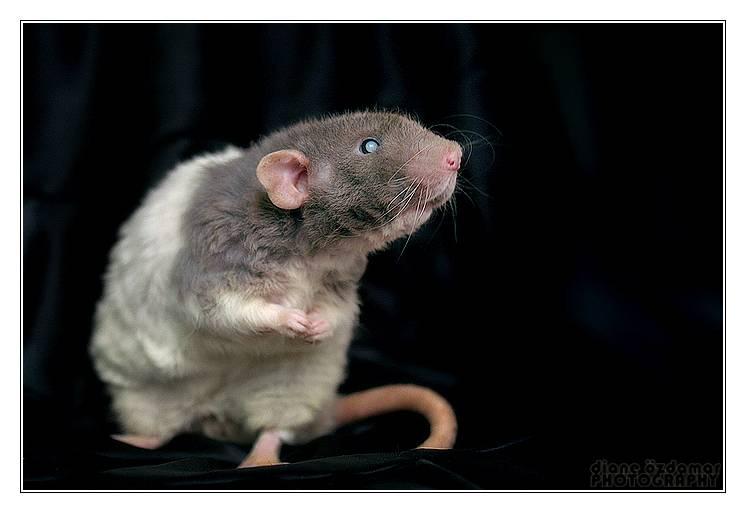 Чем отличается мышь от крысы (разница) — 5 отличий, взрослых особей и детенышей