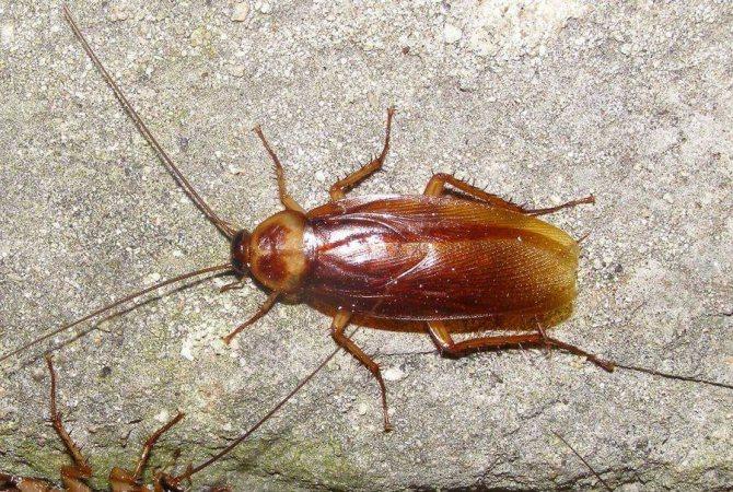 Как быстро вывести рыжих тараканов в доме