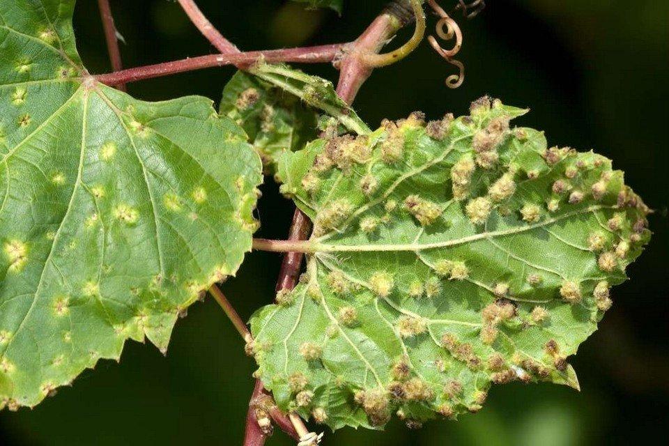 Тля на винограде - чем обработать и как бороться