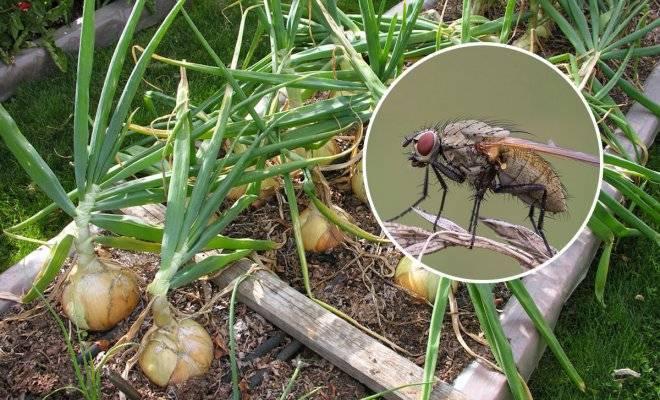 Как избавиться от луковой мухи: топ-10 эффективных средств борьбы