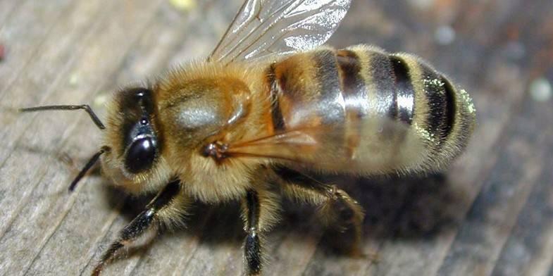 Пчелу карника или карпатку - что лучше выбрать
