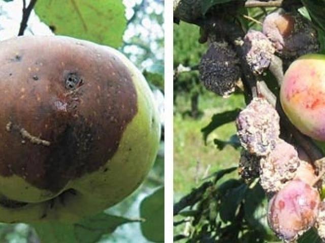 Вредители яблонь и груш