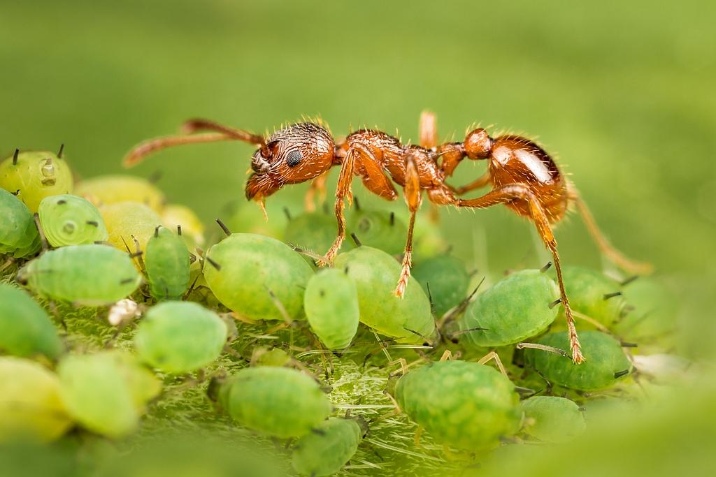 Зачем муравьи и тля друг другу — особенности жизнедеятельности насекомых