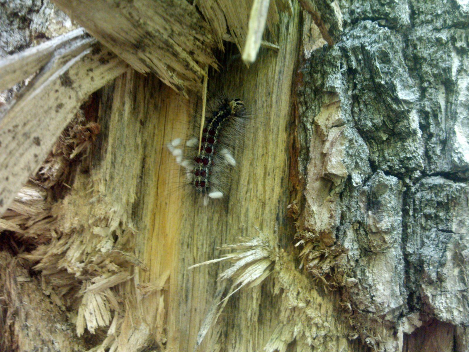 Скрипун большой осиновый – дровосек, повреждающий тополя