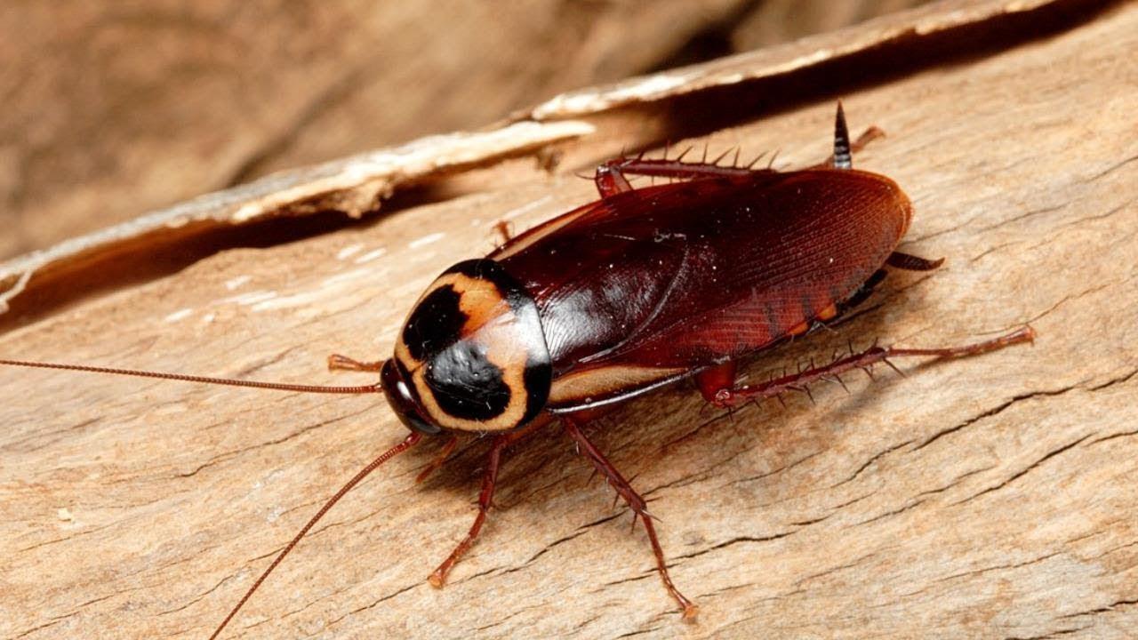 Американские тараканы: фото, описание, строение, жизненный цикл