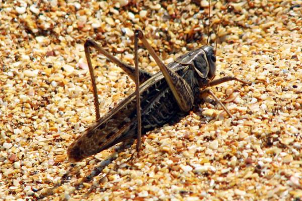 Меры борьбы с саранчой в зависимости от вида: гигантская, пустынная, азиатская, марокканская | садоводство24