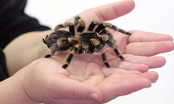 Тарантул – большой ядовитый паук