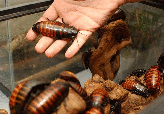 Мадагаскарский таракан – неприхотливая экзотика в вашей квартире