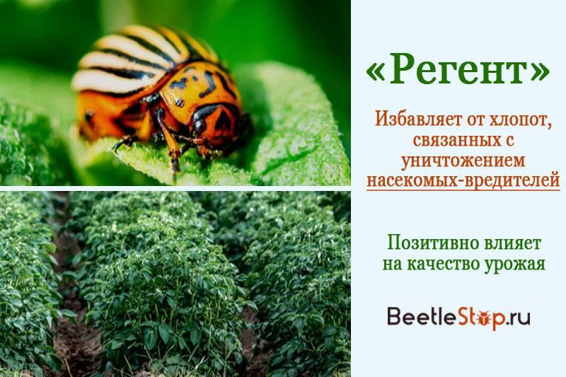 Как разводить регент для колорадского жука