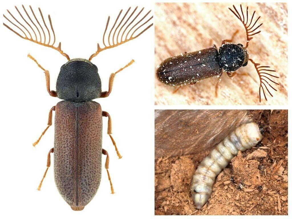Как избавиться от жука точильщика в доме народными средствами - мед-профилактика